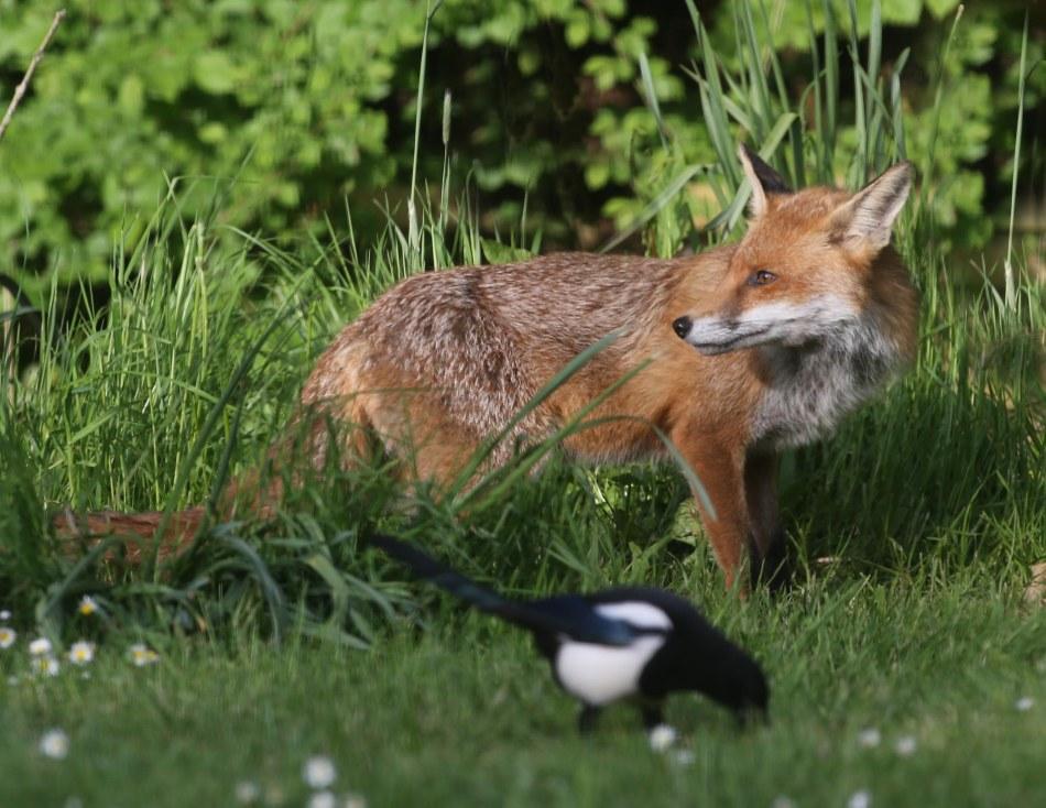 fox_cubs_01