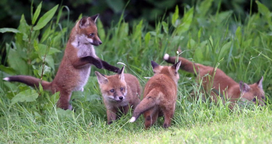 fox_cubs_11